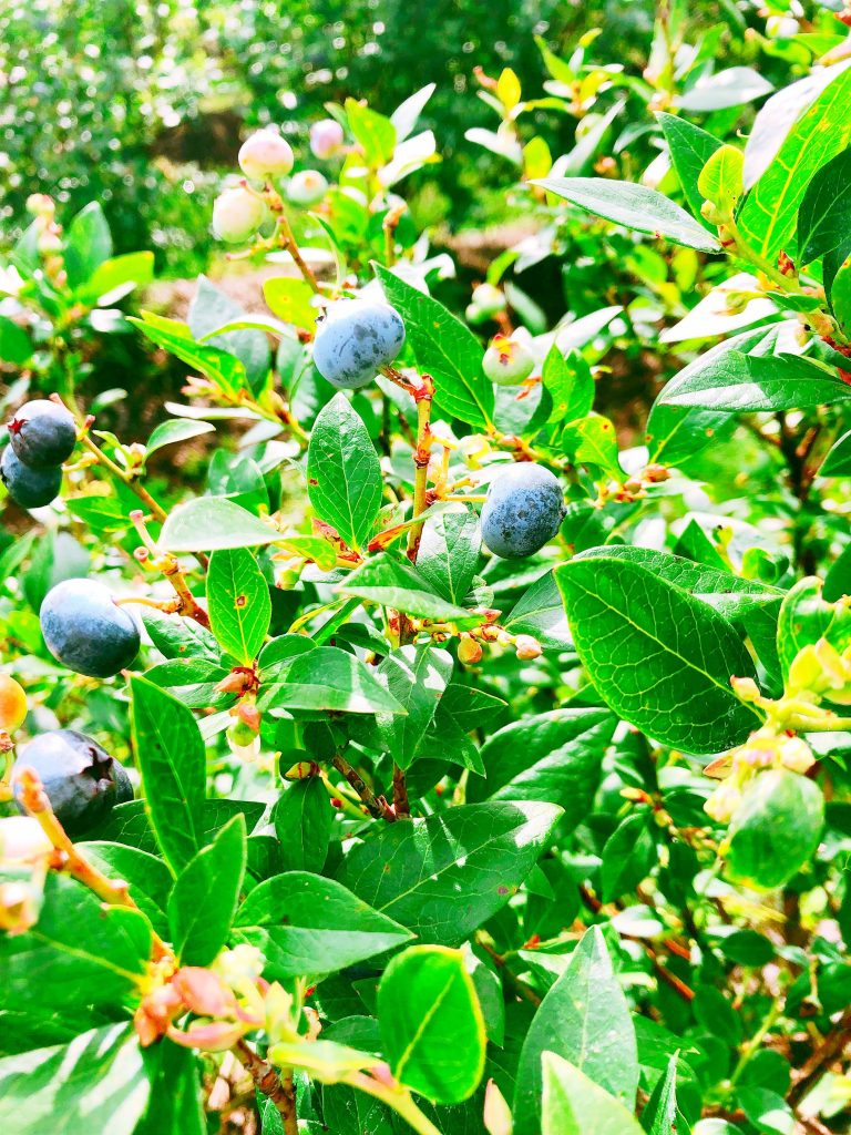U-Pick for Easy Blueberry Pancakes